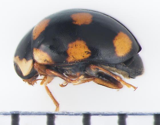 Coccinellidae, Ursine Spurleg Lady Beetle, lateral - Brachiacantha ursina