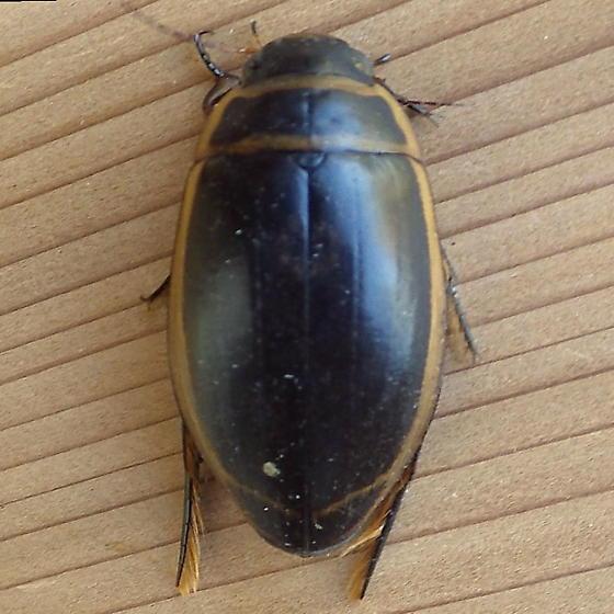 Dytiscidae: Dytiscus - Dytiscus harrisii