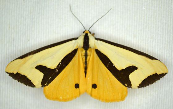 Moth - Haploa clymene