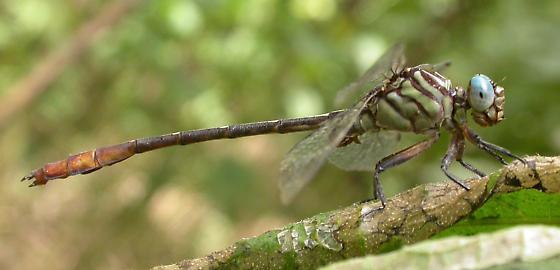 Russet-tipped Clubtail - Stylurus plagiatus - male
