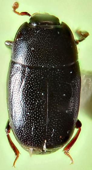 Platylomalus aequalis? - Paromalus