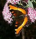 butterfly black center wing with orange + yellow at edge - Aglais milberti