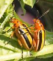 Three-lined Potato Beetles - Lema daturaphila
