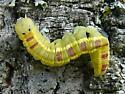 larva - Gluphisia septentrionis
