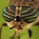 Horse Fly - Hybomitra lasiophthalma - female