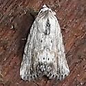Hodges #10036 - (Catabenoides vitrina) - Catabenoides terminellus - male