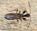 Long-necked Seed Bug - Myodocha serripes
