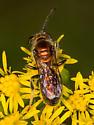 Pink Metallic Sweat Bee - Augochlorella aurata - male