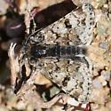 Tundra Moth of Wyoming - Anarta nigrolunata