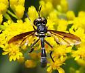 unidentified Diptera - Physoconops brachyrhynchus