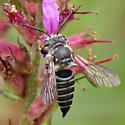bee800 - Coelioxys - female