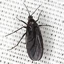 Dark-winged Fungus Gnat - Odontosciara nigra - female