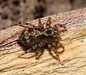 unidentified spider - Naphrys pulex
