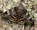 locust underwing? - Euparthenos nubilis
