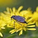 dark-winged fungus gnat - Eugnoriste - female