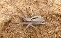 Spider Apr 25 - Thanatus formicinus
