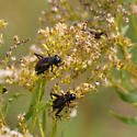 Field Crickets - sp? - Gryllus pennsylvanicus - male - female