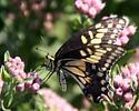 Desert Black Swallowtail - Papilio polyxenes coloro - Papilio polyxenes
