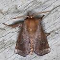 Nason's Slug Moth  - Hodges #4679 - Natada nasoni - male