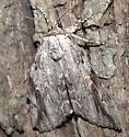 Moth [=Catocala?] ID Request - Catocala maestosa