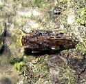 Barklouse - Trichadenotecnum