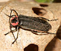firefly look-alike beetle - Atalantycha neglecta