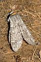 Tiger moth - Arachnis picta