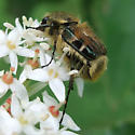 Hairy flower scarab? (Trichiotinus affinis) - Trichiotinus piger