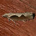 Diamondback Epinotia - Epinotia lindana