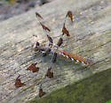 Common Whitetail Female? - Plathemis lydia