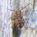 Very Tiny Bug - Dicyrtomina minuta - female