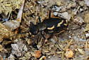 Tiger Beetle - Parvindela terricola