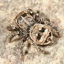Jumping Spider - Sitticus palustris
