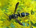 Euodynerus Wasp - Parancistrocerus perennis