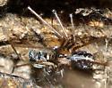 spider - Psilochorus