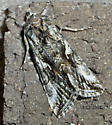 Pretty moth with bumps. - Autographa californica