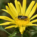 Striped Hairy Belly Bee - Coelioxys - male