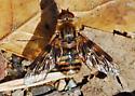 Orange County Bee Fly Archives #281 - Thyridanthrax nugator