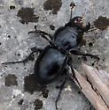 Unknown Beetle, ? Strategus species? - Pasimachus duplicatus