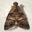 Maple Webworm Moth - Hodges #5606 - Pococera asperatella