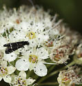 Nearby was another Fairy Moth  - Adela septentrionella