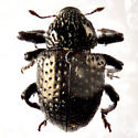 Pitted weevil.. - Chalcodermus inaequicollis