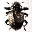 Pitted weevil.. - Chalcodermus inaequicollis