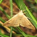Vetch Looper Moth - Hodges #8733 - Caenurgia chloropha