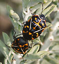 Harlequin Bugs - Murgantia histrionica