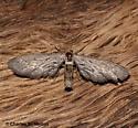 Moth - Glaucina nephos