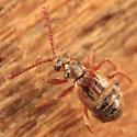 Ant-loving Beetle - Ctenisodes piceus