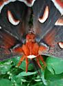 Hyalophora cecropia? - Hyalophora cecropia
