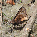 Mexican Cloudywing - Thorybes mexicanus