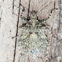 Rough Stink Bugs - Dorsal - Brochymena